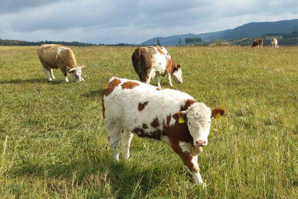 Rinder auf der Weide.