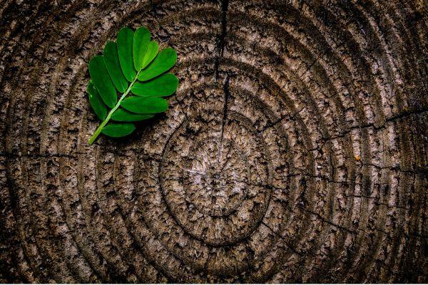 Eine Scheibe eines Baumstamms, darauf liegt ein Blatt.