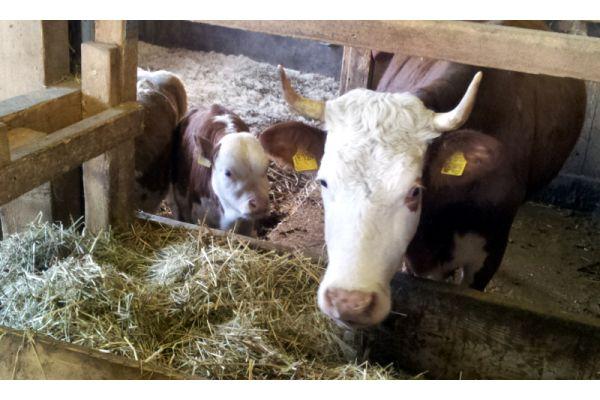 Das Bild zeigt Kühe.